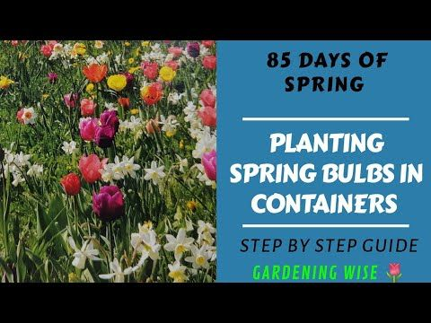 Basics Of Planting Spring Flowering Bulbs In Containers Is It Too Late To Plant Spring In 2020 Spring Flowering Bulbs Spring Bulbs Planting Bulbs In Spring