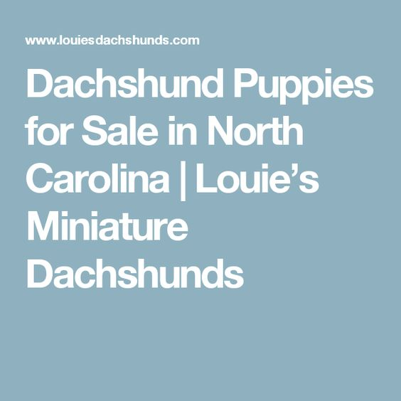 Dachshund Puppies for Sale in North Carolina | Louie's Miniature Dachshunds