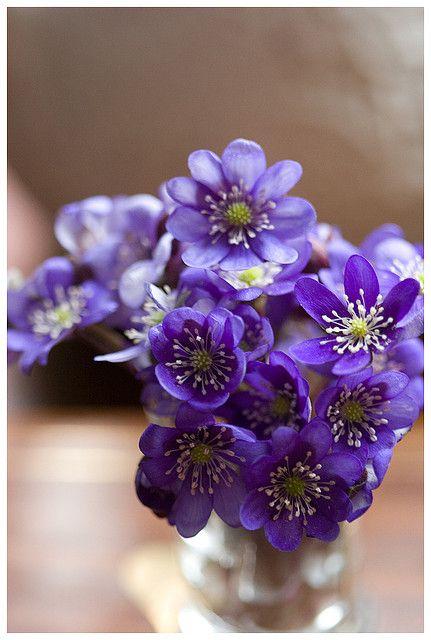 Hepatica flower posy