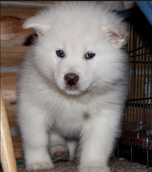 giant white alaskan malamute puppy | Animals | Pinterest ...