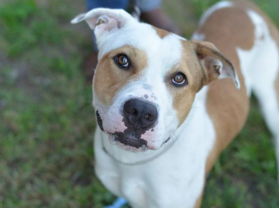 TO BE DESTROYED - 09/18/14 Brooklyn Center -P My name is JEEZY. My Animal ID # is A1013064. I am a male tan and white pit bull mix. The shelter thinks I am about 1 YEAR 6 MONTHS old. I came in the shelter as a OWNER SUR on 09/05/2014 from NY 11225, owner surrender reason stated was NO TIME.