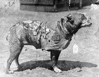 WWI dog hero Stubby