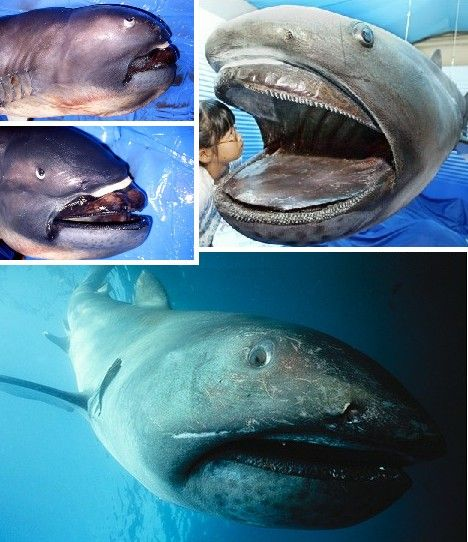 """Megamouth Sharks are filter-feeders like Whale Sharks (below) and Basking Sharks. Growing up to 18 feet long and weighing as much as 2.5 tons, Megamouth Sharks are a deepwater species that boasts a ring of light-emitting photophores around its mouth – sort of a deep sea """"Eat At Joe's"""" sign, though diners quickly become dined upon."""