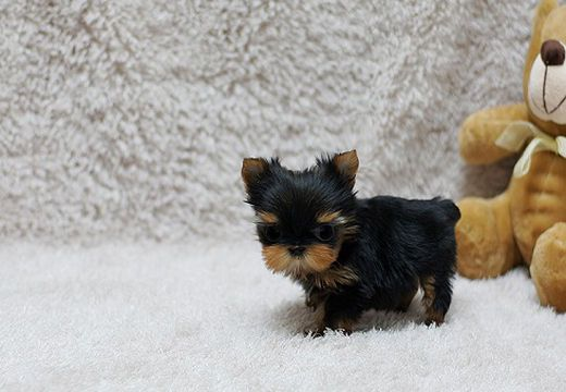 Available Puppies Jovial Yorkies Sale Teacup Yorkie Puppy Yorkie Puppy Cute Baby Animals