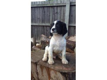 Sprocker puppy. See more pics of the litter: http://gunsforsale.shootinguk.co.uk/dogs-for-sale/spaniels/w/uk/cambridgeshire/cambridge/sprocker-pups-406024.html?source=pinterest