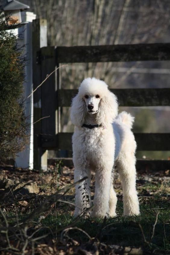 Toy Poodles Won Best In Show At Crufts In 1966 And 1982