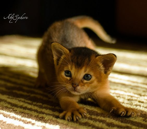 I've always wanted an Abyssinian Kitten. I would name her Abby.... Original I know. :P