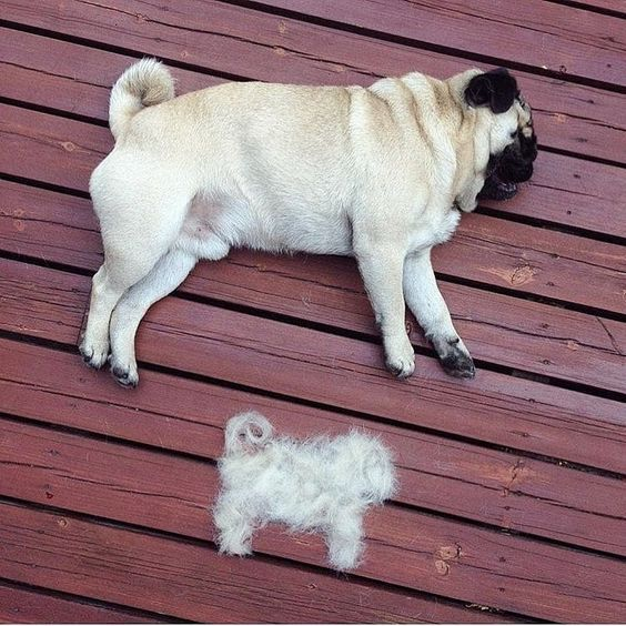 After Haircut Cute Pugs Pugs Funny Pug Lover