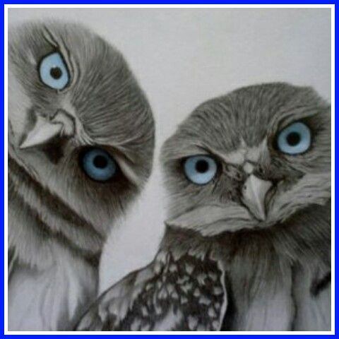Grey owls with stunning blue eyes.