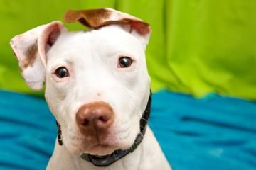 Seattle Humane Society utilizes special programs to help get pit bull type dogs adopted