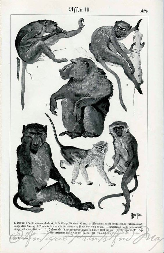 Primates Baboon Mangabey Patas Monkeys by AntiquePrintsAndMaps, $10.00: