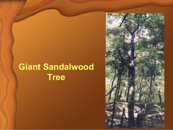 Sandalwood Detailed Overview