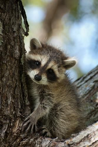 Baby Raccoon. Awwww... #cute #raccoon                                                                                                                                                     More