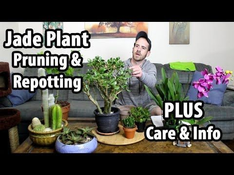 Repotting Pruning And Caring For A Jade Plant Caring Jade Plant Pruning Repotting Jade Plants Plants Jade Plant Care
