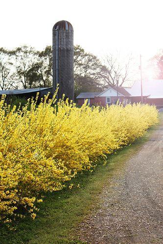 Forsythia Hedge in bloom