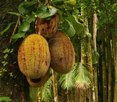 this tropical fruit is called quotdurianquot it grows in