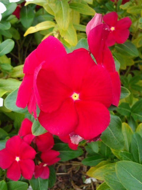 These handsome, magenta vinca grow outside of Jason's Deli on LaVista Road in Tucker, GA. Eileen H. Kramer