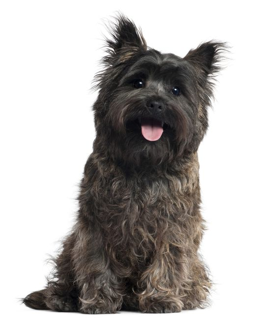 """""""A puppy?"""" I shrieked, reaching into the box. I lifted the dark, wiry-haired baby to my face, and it covered my mouth in warm, wet kisses. Travis beamed, triumphant. """"You like him?"""" """"Him? I love him! You got me a puppy!"""" """"It's a Cairn Terrier. I had to drive three hours to pick him up Thursday after class."""""""