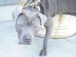 ♡ MY LIFE MATTERS ♡ LAWRENCE – A1065763 MALE, BLUE / WHITE, AMERICAN STAFF, 2 yrs STRAY – ONHOLDHERE, HOLD FOR HOSPITAL Reason OWNER HOSP Intake condition EXAM REQ Intake Date 02/22/2016, From NY 11233, DueOut Date 02/29/2016,
