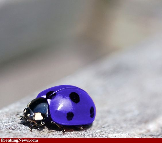 ladybug pictures | Ladybug Pictures - High Resolution Gallery