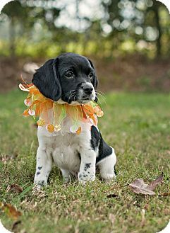 Http Www Adoptapet Com Pet  Providence Rhode Island Boxer