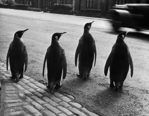 Werner Bischof :: Penguins from the zoo taking their weekly walk in order to promote the attraction, Edinburgh, 1950