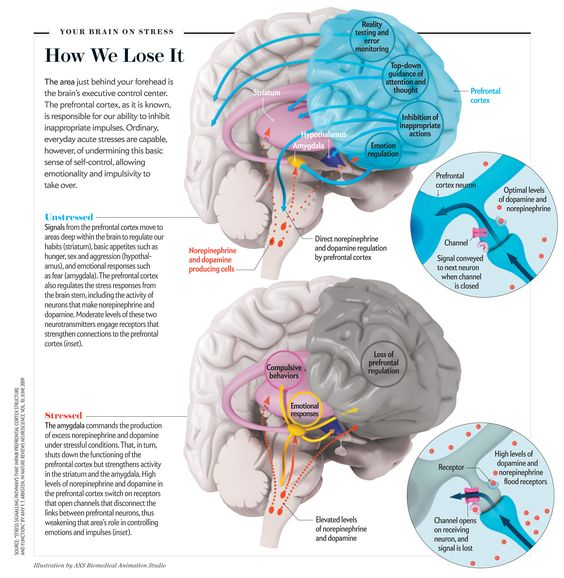 "How We Lose It [Illustration by AXS Biomedical Animation Studio, for ""This Is Your Brain in Meltdown,"" by Amy Arnsten, Carolyn M. Mazure and Rajita Sinha; Scientific American, April 2012]"