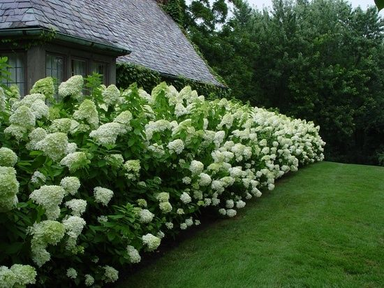 Have one in the front yard but such a good idea to use on the back fence   For back fence...Limelight hydrangeas. They grow up to 8 ft tall, can grow in full sun or shade and can tolerate dry soil. Beautiful!