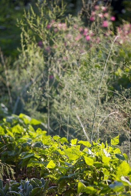 Beans And Asparagus Companion Planting Garden 400 x 300
