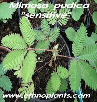 sensitive mimosa pudica