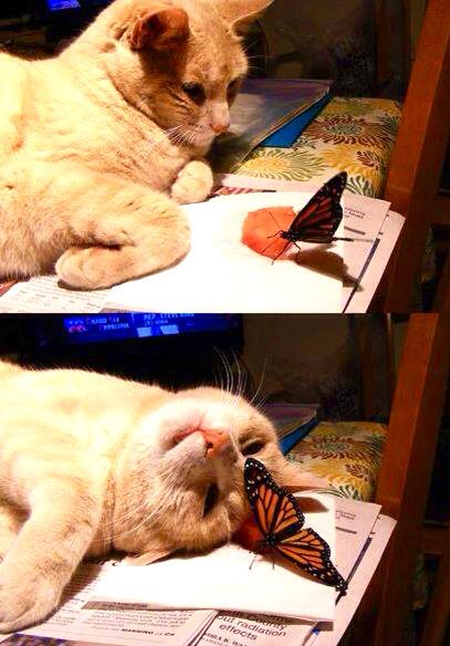 The cat is not trying to catch the butterfly! Amazing! Mine would have grabbed it instantly!