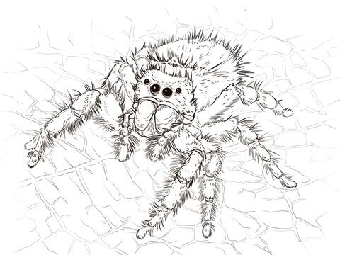 Realistic Spider Coloring Page Spider Coloring Page Spider Illustration Spider Drawing
