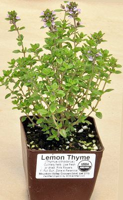 Lemon Thyme looks like English Thyme and grows like English Thyme but that is where the similarity stops. Lemon Thyme definitely smells like lemon and tastes like lemon. It can be used in any recipe calling for lemon juice, lemon zest or lemon flavoring. It grows like a weed so there is always more lemon waiting in the garden. Lemon Thyme added to marinade is great with fish or chicken. Lemon Thyme's glossy green foliage can be sheared to form one of the knots in a traditional knot garden.