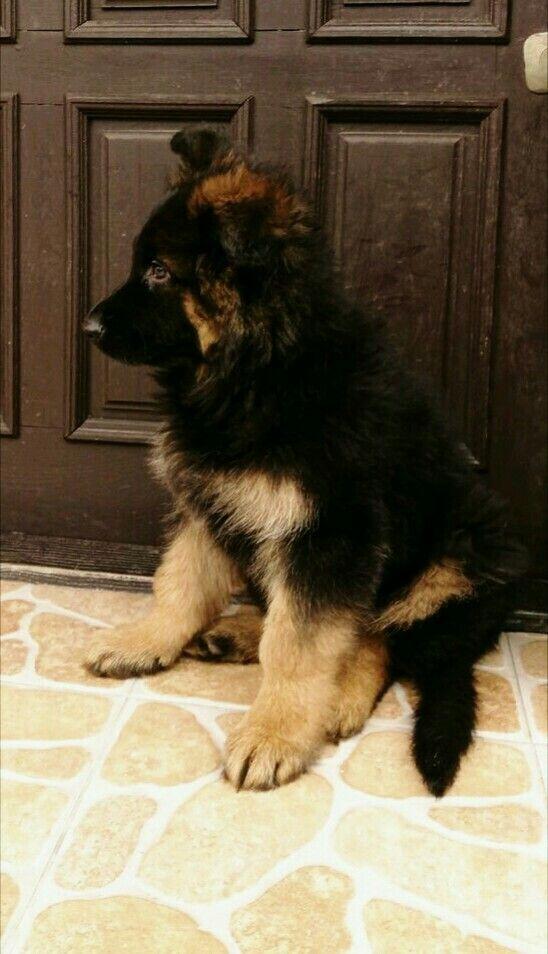 Pin On Gotta Love German Shepherds