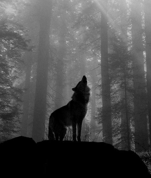 ผลการค้นหารูปภาพสำหรับ black and white wolf gif