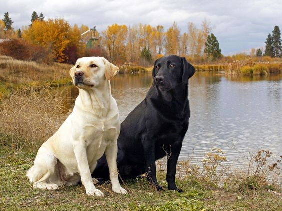 Two Labrador dogs by a beautiful lake