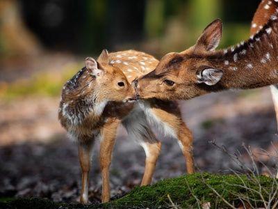 Deer background wallpaper. So sweet!