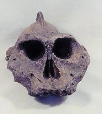 Paranthropus Aethiopicus Skull