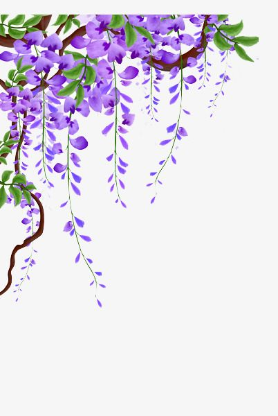 Wisteria Vines Picture Material Wisteria Flower Vine Flowers Png Transparent Clipart Image And Psd File For Free Download Flowering Vines Vine Drawing Flower Background Wallpaper