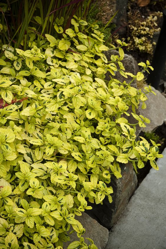 The shining shrubs and the o 39 jays on pinterest for Low growing landscape plants