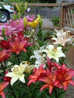 Lilies! Love dem! where do i pick up a gud bunch in Delhi!