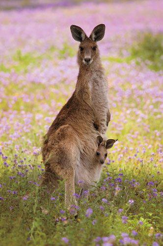 mama and baby kangaroo - photo #1