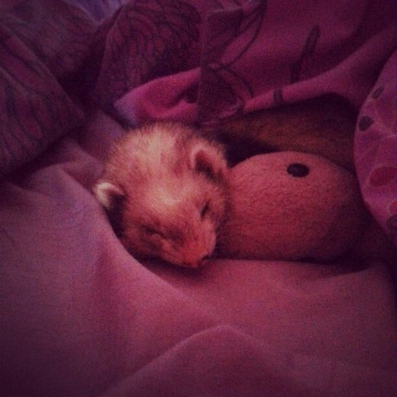 Our little lexi. R.i.p beautiful ferret ♥