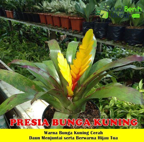 Tanaman Presia Kuning Tanaman Bunga Kuning Bunga