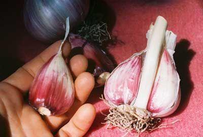 how to grow big garlic