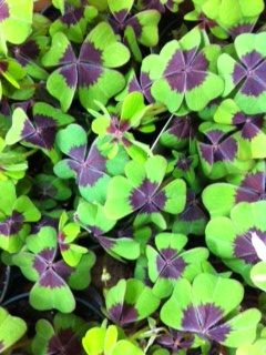 Shamrock plant for St. Patrick's Day.