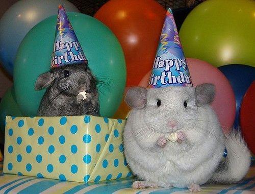♫♪..Happy Birthday to you...♫♪♪... Chinchillas!