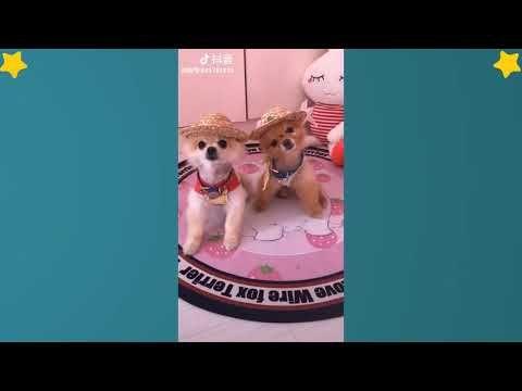 Tiktok Cat Tik Tok Pets Tik Tok Funny Dog Tik Tok Animals 12 Adorablecat Adorablepets Cuteanimals Cutedogs Cute Animal Videos Love Pet Funny Dogs