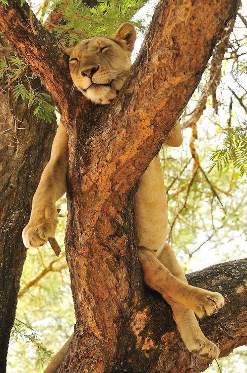 celestiol:     Lioness relaxing up a tree, Lake Manyara, Tanzania