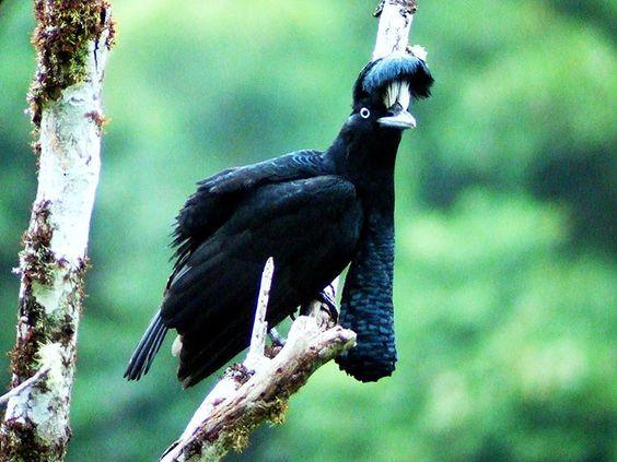 Adult male Amazonian Umbrella Bird along the Manu Road.